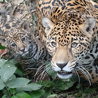 EN&gt; Portrait of a jaguar with a young cub | <br />