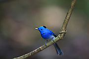 Black-naped Monarch (Hypothymis azurea) male perched on branch. Kaeng Krachan National Park. Thailand.