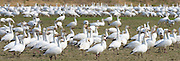 Snow Geese (Chen caerulescens) wintering at the Skagit River delta in Skagit County, Washington, USA. snowgeese, snowgoose, birds in flight, aves, snow geese, snow goose