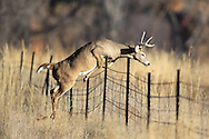 Whitetail buck jumping a barbed wire fence near the base of Devils Tower in Wyoming.