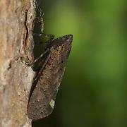 Penthicodes pulchella planthopper (Fulgoridae), Huai Kha Khaeng Wildlife Sanctuary, Thailand.