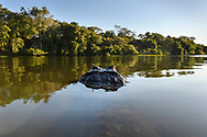Wide angle shot of an yacare caiman (Caiman yacare), in the Pantanal, Mato Grosso, Brazil