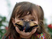 "© Licensed to London News Pictures. 25/03/2013. London, UK. Stella Ferruzola  aged 3 looks at butterflies that have settled on her face.  Children play with butterflies at the Natural History Museum's new exhibition ""Sensational Butterflies"" which runs from 29th March to 15th September 2013.   The exhibition features over 500 tropical butterflies  and a chance to watch butterflies emerge from chrysalises trough a hatchery window. Photo credit : Stephen Simpson/LNP"