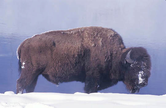 Bison, (Bison bison) Near Old Faithful at Madison River. Yellowstone Park. Winter.