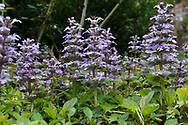 Carpet Bugle (Ajuga reptans) in a backyard garden in the Fraser Valley of British Columbia, Canada.