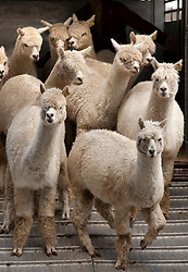 © Licensed to London News Pictures. 13/04/2012. Fosse Way, Warwickshire, UK. One of the largest ever auction sales of Alpacas takes place today (Friday) at Warwickshire Exhibition Centre, Near Leamington Spa. The auction of nearly 100 Alpacas sourced from three herds are expected to sell for many thousands of pounds. All three herds have had success in the show ring whenever they have been entered and offers the chance to purchase quality breeding stock at the pinnacle of British Breeds. At auction will be 25 maiden females, 56 Breeding females, 10 stud males and two Cria (baby) Alpacas. Pictured, female Alpaca arriving at the auction. Photo credit : Dave Warren/LNP.Contacts, (NOT FOR PUBLICATION)..Breeder Mike Coghlan 07814 013291..Auctioneer Heather Pritchard 0771 4761311.