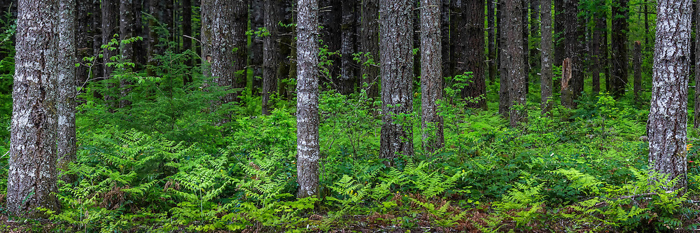 Ferns and plants blanket the base of the numerous trees in the Columbia River Gorge in Spring.