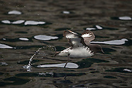 Daption capense (Cape petrel)