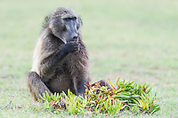 Adult Chacma Baboon male feeding on wild fig fruits, De Hoop Nature Reserve and Marine Protected Area, Western Cape, South Africa