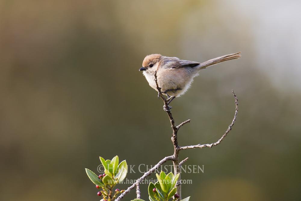 A bushtit perches on a narrow twig