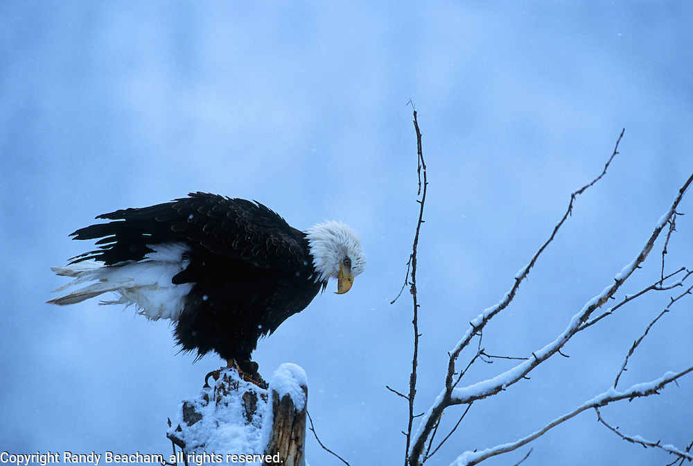 Bald eagle on snag. Lake Coeur d' Alene, North Idaho.
