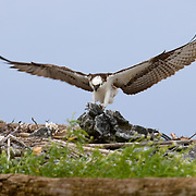 Osprey nesting on reef crest off of Southwater Caye, Belize