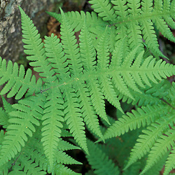 Waterville Valley, NH..Long Beech Fern, Thelypteris Phegopteris. White Mountains N.F.
