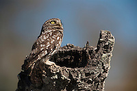 Little Owl (Athene noctua)<br /> RANGE: Temperate part of Europe, Asia e to Korea &amp; n Africa. Introduced to UK in 19th century &amp; now naturalised. Also introduced to South Island of New Zealand.<br /> They are diurnal &amp; perch prominently during the day. Feed on insects, earthworms, amphibians and small birds and mammals.<br /> Do&ntilde;ana National &amp; Natural Park. Huelva Province, Andalusia. SPAIN<br /> 1969 - Set up as a National Park<br /> 1981 - Biosphere Reserve<br /> 1982 - Wetland of International Importance, Ramsar<br /> 1985 - Special Protection Area for Birds<br /> 1994 - World Heritage Site, UNESCO.<br /> The marshlands in particular are a very important area for the migration, breeding and wintering of European and African birds. It is also an area of old cultures, traditions and human uses - most of which are still in existance.
