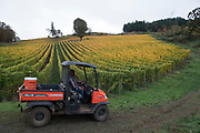 Alexana riesling harvest, Dundee Hills AVA, Willamette Valley, Oregon