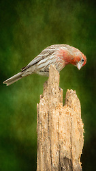 A curious finch peeks into the rotting tree in search for a quick snack