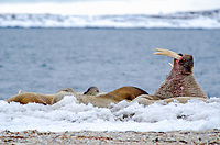 Male walrus displaying his tusk on land at Torelleneset on the east side of Hinlopen Strait on Nordaustlandet in Svalbard archipelago, Norway.