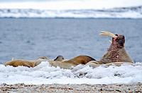 Male walrus displaying his tusk on land at Torelleneset on the east side of Hinlopen Strait on Nordaustlandet in Svalbard archipelago, Norway.