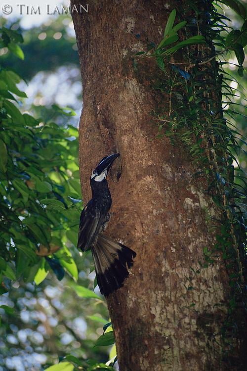 Bushy-crested Hornbill (Anorrhinus galeritus) at its nest hole..Gunung Palung National Park, Borneo, Indonesia