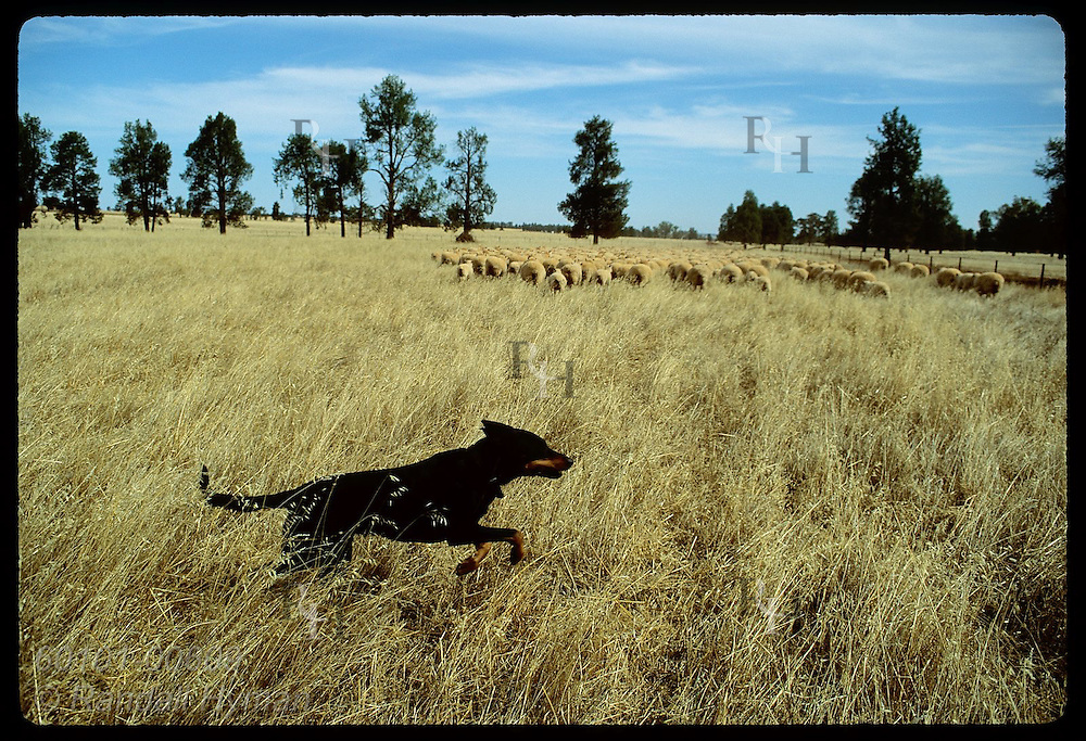 Dog runs across field to herd distant flock of sheep on farm in Coolamon, New South Wales. Australia