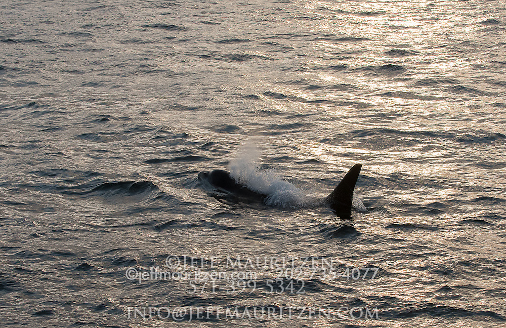 A killer whale surfaces off the coast of the San Juan Islands in the Pacific Northwest.