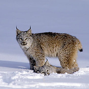 Canada Lynx, (Lynx canadensis) Montana. Pair playing together in snow. WInter. Captive Animal.