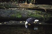 Bald Eagle<br /> Haliaeetus leucocephalus<br /> Drinking in the Glendale River<br /> Knight Inlet, British Columbia, Canada