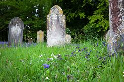 Wildflowers around the gravestones in Exbury churchyard. Pulmonaria, bluebells and wood anemones