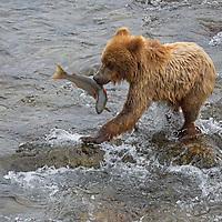 USA, Alaska, Katmai. Grizzly cub holds salmon at Brooks Falls, Katmai National Park.