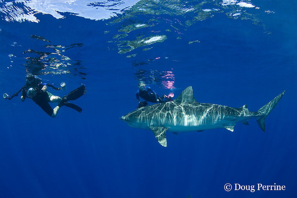underwater photographers David Kearnes and Stefanie Brendl with tiger shark, Galeocerdo cuvier, North Shore, Oahu, Hawaii, USA ( Central Pacific Ocean ) MR 389, 390