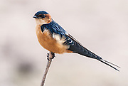 Red-Rumped Swallow, Amboseli National Park, Kenya