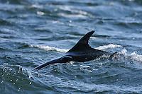 Dorsal fin of Bottle-nosed Dolphin,<br /> Tursiops truncatus,<br /> Moray Firth, Nr Inverness, Scotland - April
