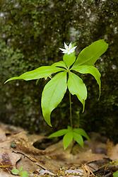 Starflower, Trientalis borealis.  Primrose family.  Moultonboro, NH.