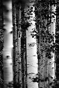 SHOT 7/16/11 1:14:32 PM - Aspen tree trunks in a massive grove in Durango, Co. Populus tremuloides is a deciduous tree native to cooler areas of North America. The species is referred to Quaking Aspen, Trembling Aspen, and Quakies, names deriving from its leaves which flutter in the breeze. The tree-like plant has tall trunks, up to 25 metres, with smooth pale to white bark, scarred with black. The glossy green leaves, dull beneath, become golden to yellow in autumn. The species rarely flowers, often propagating through its roots to form large groves. It propagates itself primarily through root sprouts, and extensive clonal colonies are common. (Photo by Marc Piscotty / © 2011)