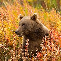 USA, Alaska, Katmai National Park, Coastal Brown Bear (Ursus arctos)