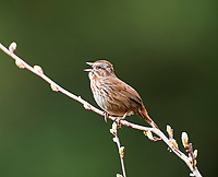 Song Sparrow (Melospiza melodia), Drumbeg Provincial Park, Gabriola Island , British Columbia, Canada   Photo: Peter Llewellyn