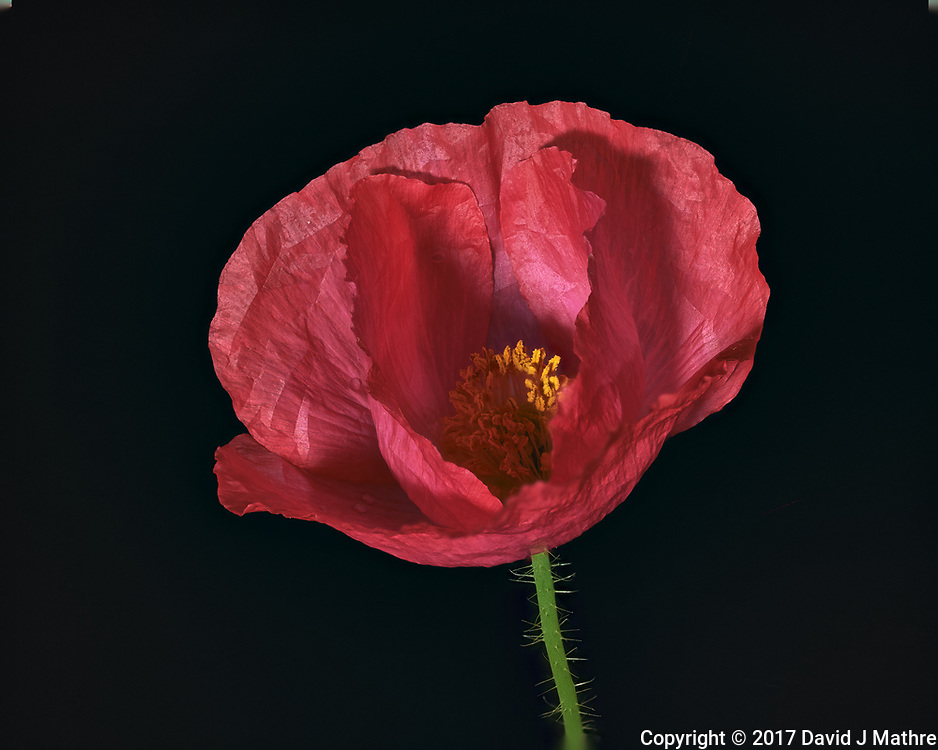 Pink Poppy Flower. Backyard spring nature in New Jersey. Focus stacked composite of 25 mages taken with a Nikon Df camera and 105 mm f/2.8 VR macro lens and SB-910 flash (ISO, 105 mm, f/4, 1/60 sec). Images processed with Capture One and Helicon Focus (pyramid)