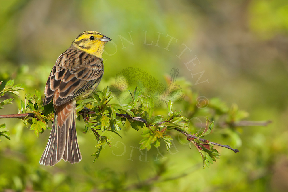 Yellowhammer (Emberiza citrinella) adult perched on branch, Norfolk, UK.