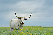 Cattle/Longhorns