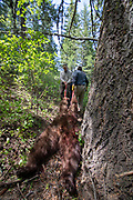 Keith Crowley (left) and Scott Denny  drag out Crowley's bear taken while spring bear hunting with hounds in Idaho. Photo credit: Evan Heusinkveld