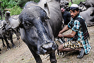 Chamar milks a water buffalo. Buffalo milk is the main source of income for Van Gujjars, and is a major part of their diet.