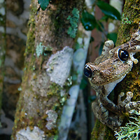 Hispaniola Giant Treefrog, Oseopilus vastus, an endangered species on the Massif de la Selle.
