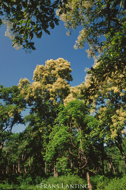 Flowering trees in monsoon forest, Nagarahole National Park, Western Ghats, India
