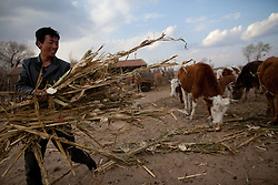 Mongolian ethnic minority farmer Qinglong feeds his cattle in a farm in Kunlun Qi in the Inner Mongolia Autonomous Region of China on 23 April 2011. Inner Mongolia, China's third largest province, is fighting severe desertification, much like the provinces of Xinjiang, Gansu, Qinghai, Ningxia, Shaanxi, Heilongjiang and Hebei. Over-grazing, logging, expanding farms and population pressure, along with droughts have steadily turned once fertile grasslands into sandy plains. China has adopted measures to stop the land degradation such as reforestation, resettling nomadic Mongolians from grasslands to urban areas and restricting grazing areas. Tree planting has become a key government effort to combat desertification and supporting the government's reforestation endeavors are numerous non-governmental organizations (NGOs), such as Shanghai Roots & Shoots. The NGO launched the Million Tree Project in 2007 in Kulun Qi with aims to plant its first million trees by 2014 to hinder the expanding desert. To-date, they have planted more than 600,000 trees.