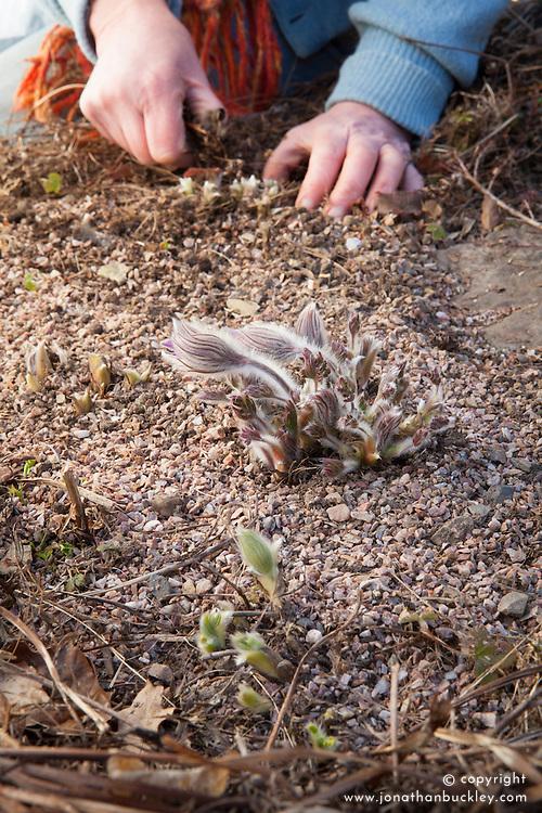 Clearing debris around emerging shoots of Pulsatilla vulgaris