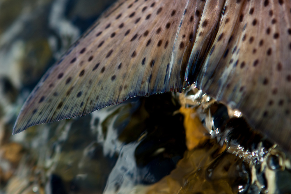 close up tail detail of fly caught alaskan king salmon, east fork chulitna river, interior Alaska