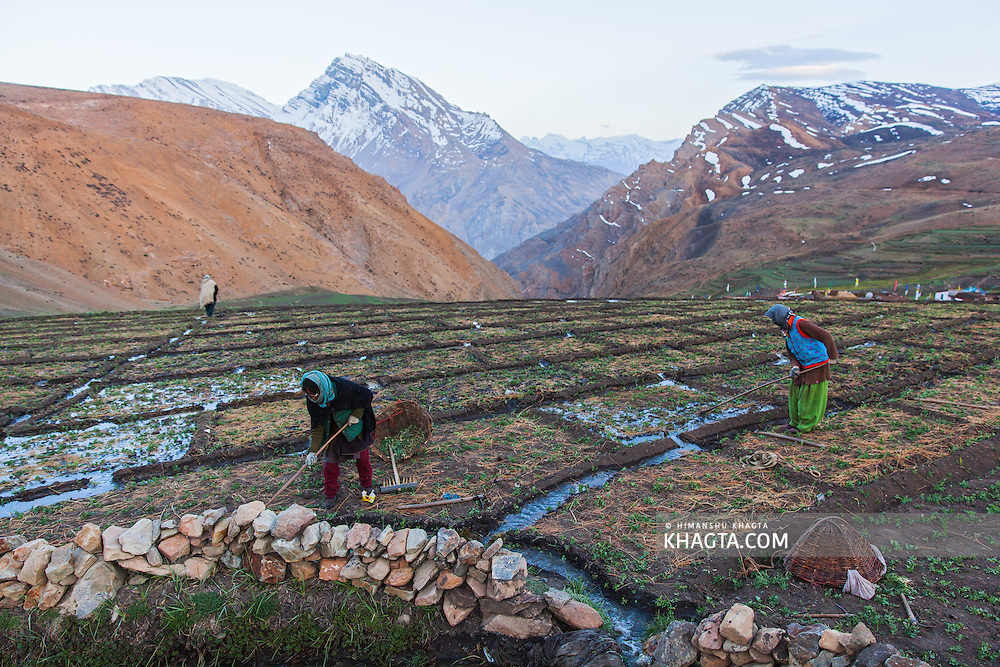 Spiti women farming in their pea farms. They irrigate with the help of glacial streams and are not dependent on monsoons.