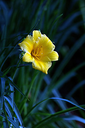 09 June 2014:  Yellow Lilly Bloom