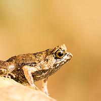 A juvenile Palawan horned frog, Megophrys ligayae, endangered