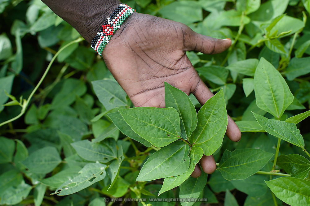 During lean times, many people in South Sudan eat the leaves of certain wild plants. At times they are cultivated for the purpose. Eastern Equatoria, South Sudan, 8 August 2014.